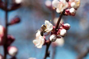 Die 10 bienenfreundlichsten Bäume – Plantura