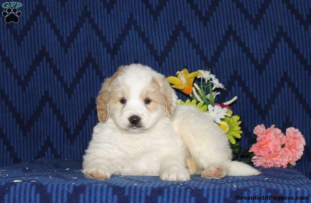 Brian Bernedoodle Miniature Puppy For Sale In Maryland