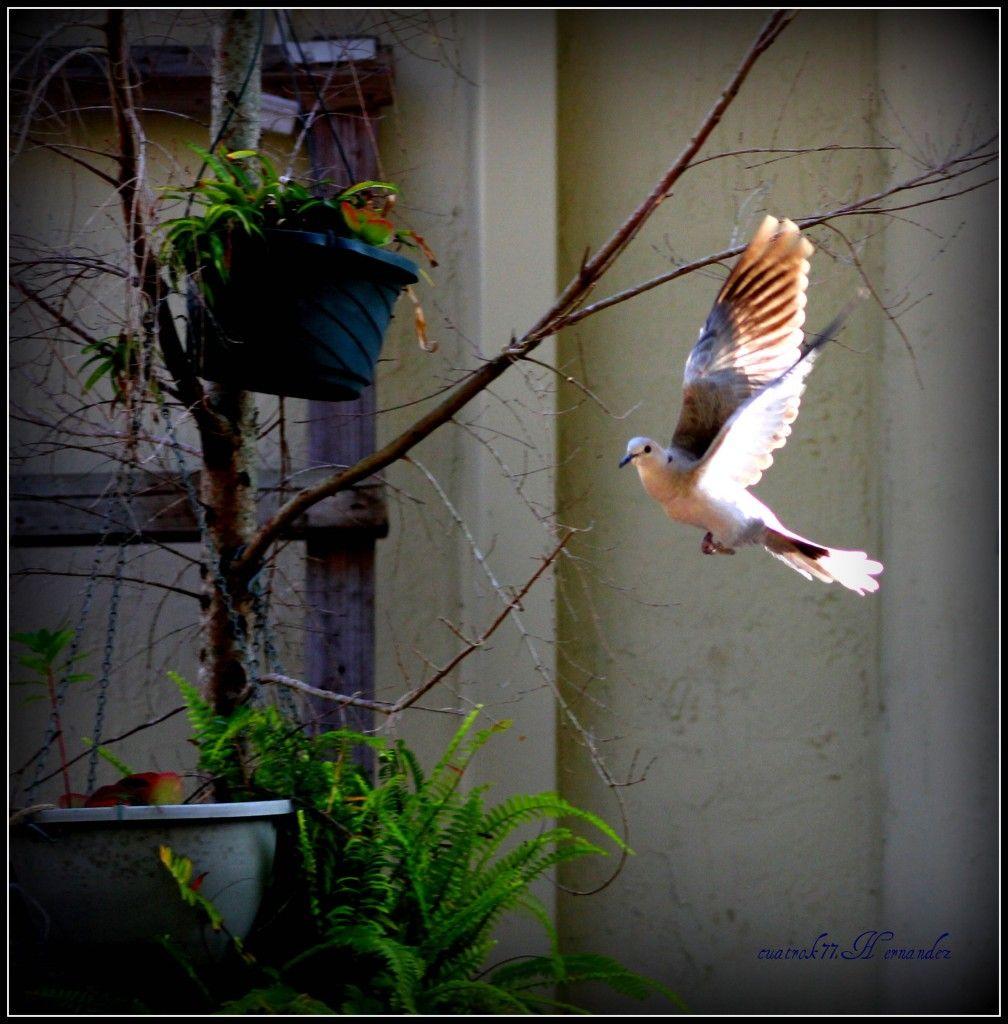 the flying pigeon #garden #landscape