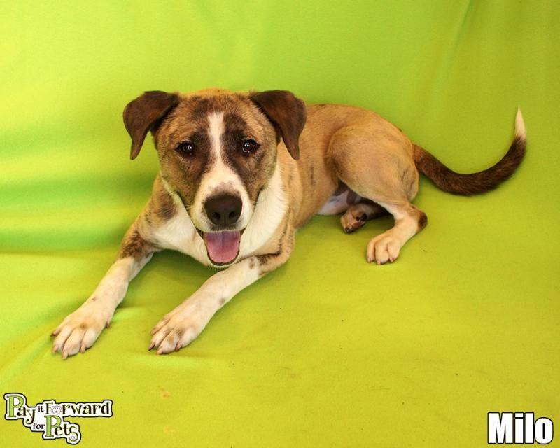 Adopt Milo On American Animals Losing A Dog Dog Adoption