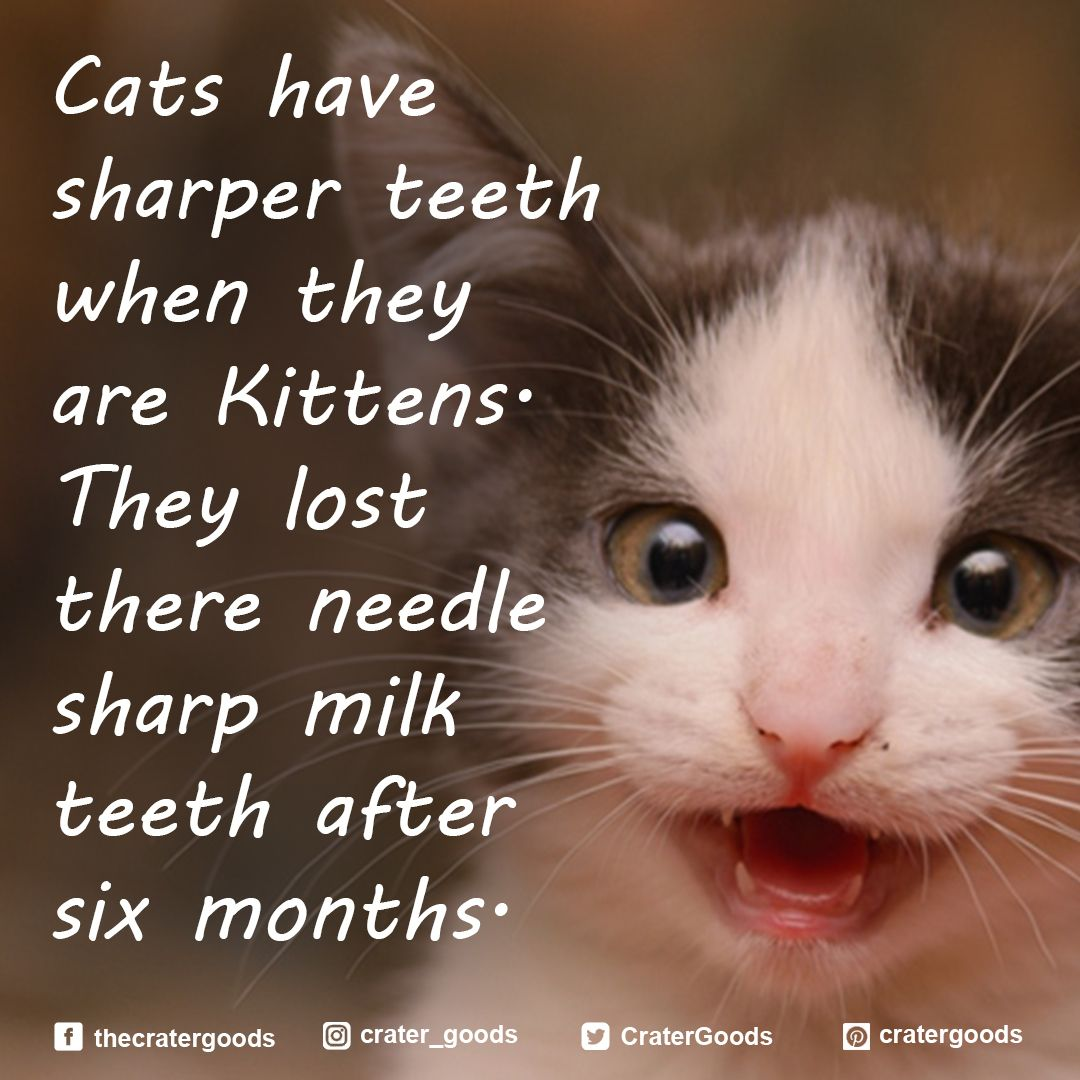 Cats Have Sharper Teeth When They Are Kittens They Lost There Needle Sharp Milk Teeth After Six Months Cattrivia Cat Cats Crate Cats Kittens Cat Kennel