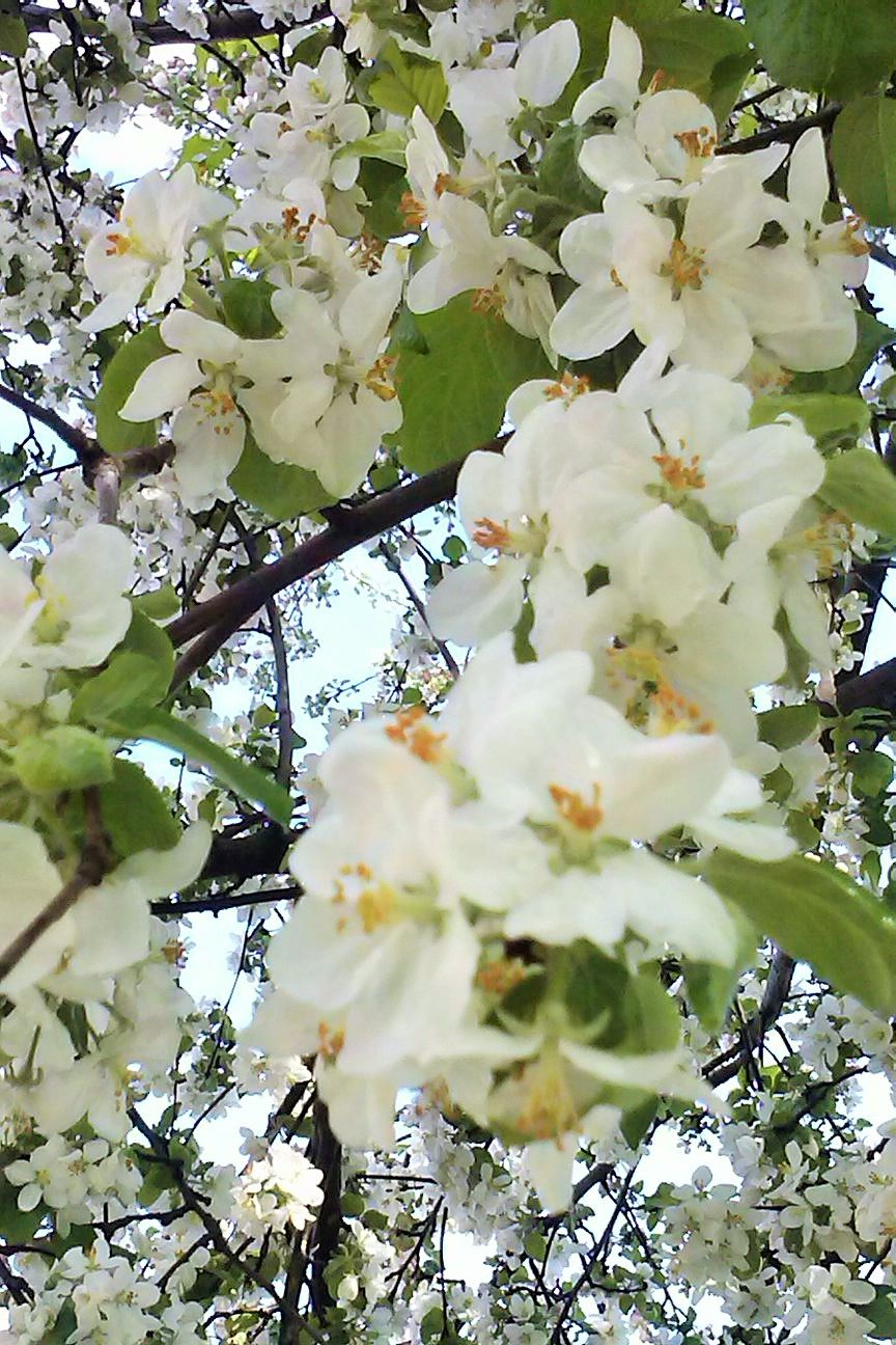 100 Tree With White Flowers That Smell Good Gardening Trees