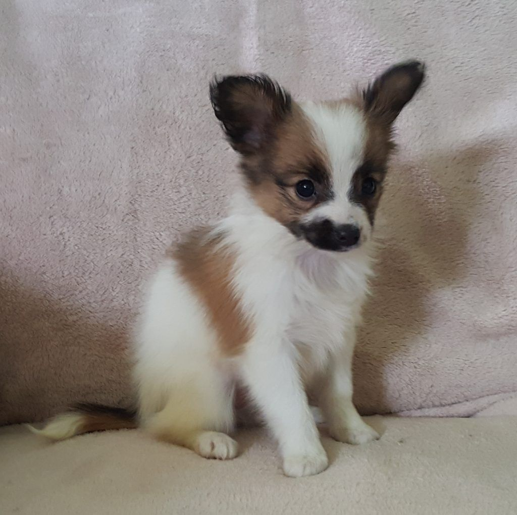 Oldfield Hobby Breeding Papillon Puppies For Sale License 183