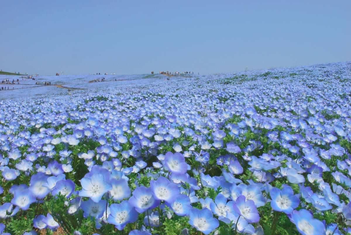flower calendar hitachi seaside park seaside park hitachi seaside park flower calendar