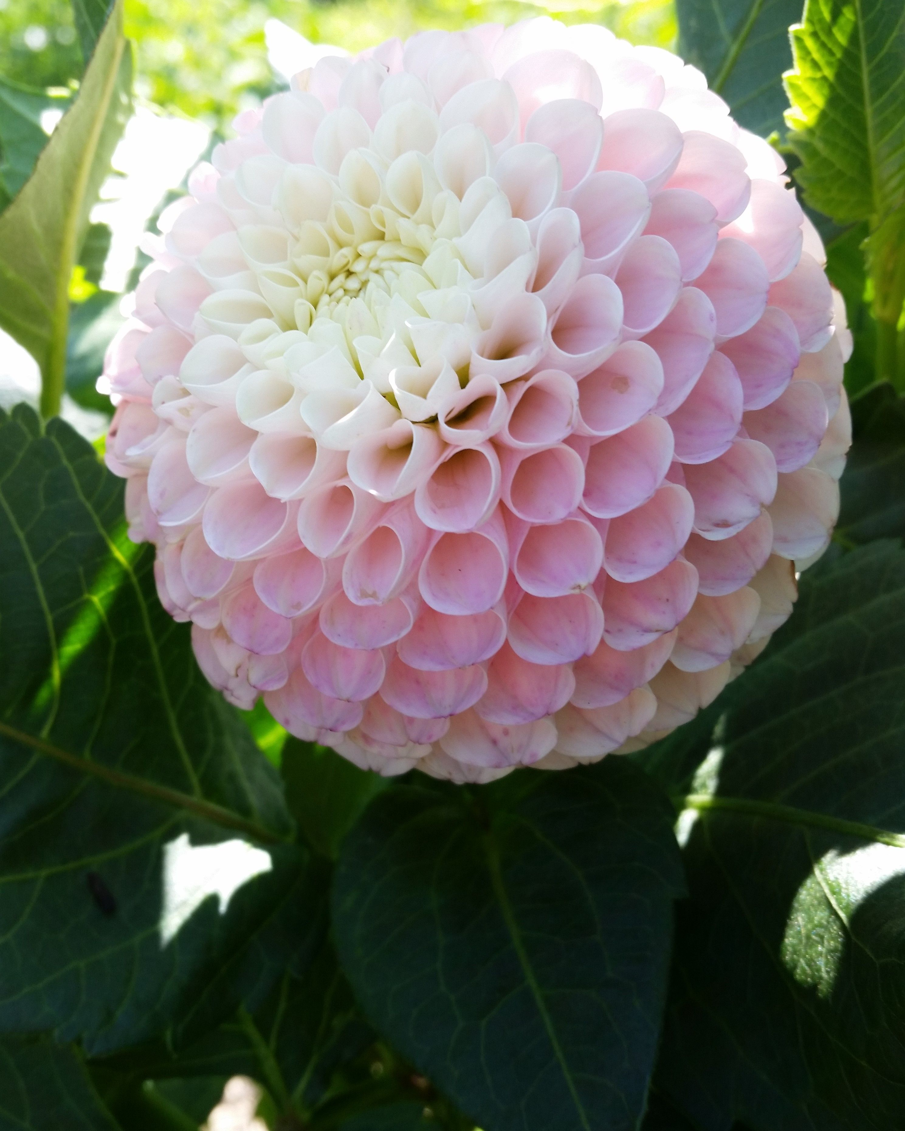 Odyssey Very Pretty Blend Of Light Pink And White On This Miniature Ball Dahlia 2019 Dahlias By Julie Dahlia Flowers Flower Lights