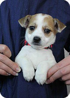 Westminster, CO - Jack Russell Terrier/Rat Terrier Mix ...