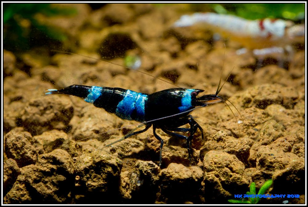 Blue Panda Shrimp, might need to put one or two in my