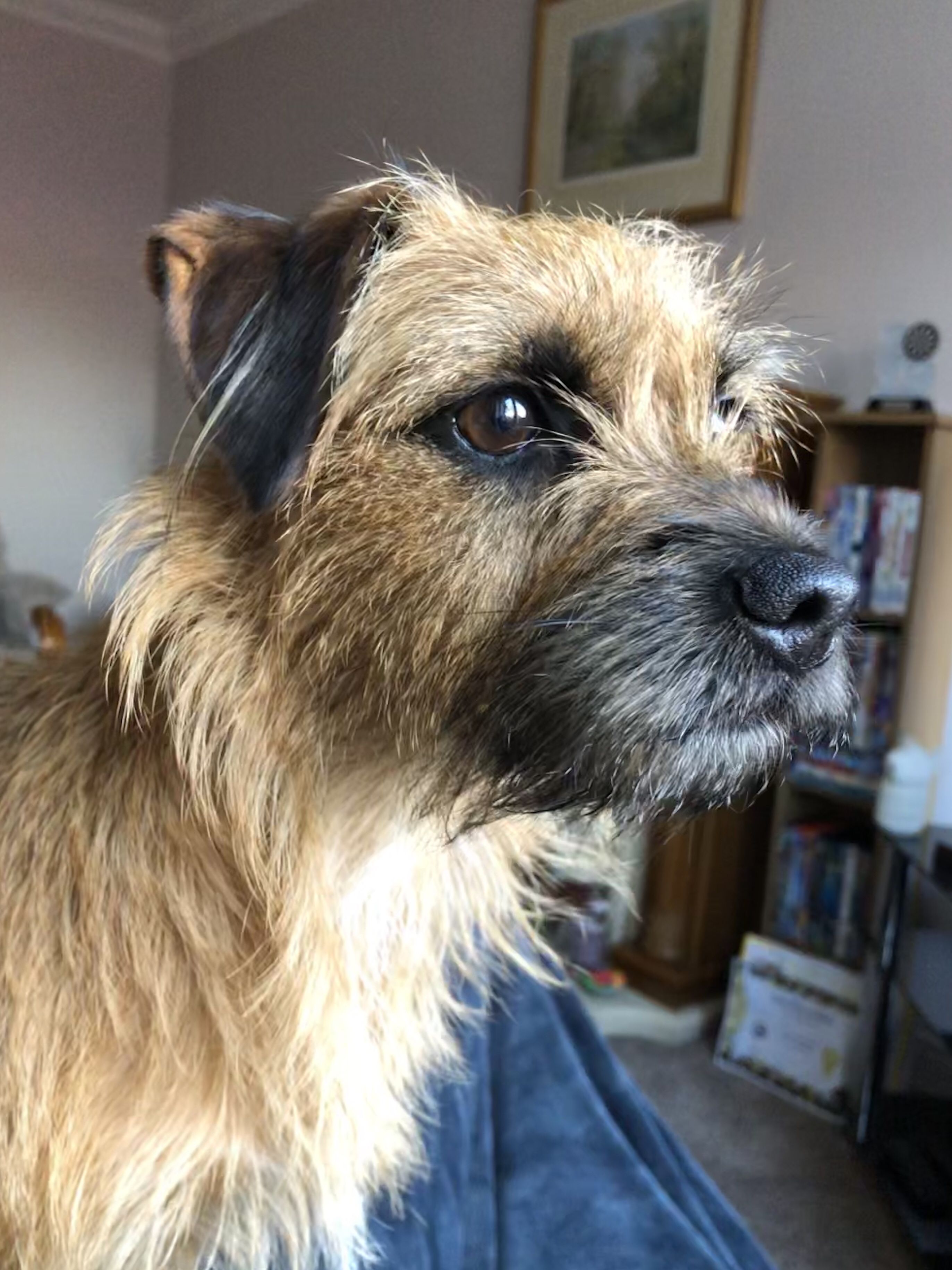 Pin By Beverley Brightley On Border Terriers Border Terrier
