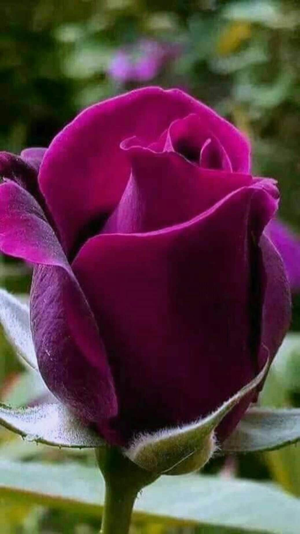 Pin by char bradford on pretty flowers pinterest flowers rose nice rose with purple colour izmirmasajfo Choice Image