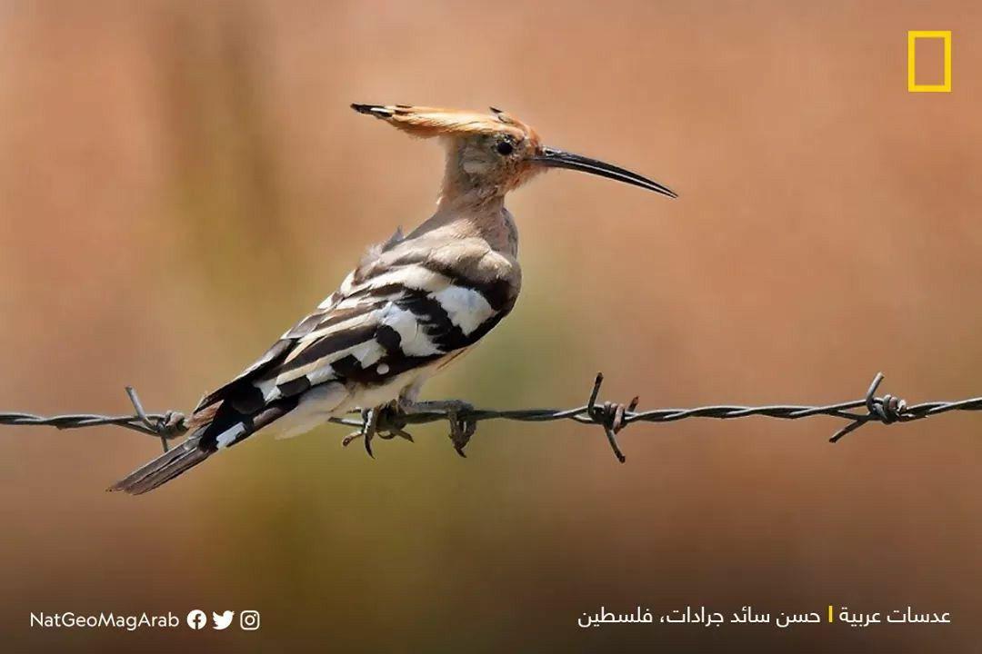 عدسات عربية يعد انتشار طائر الهدهد الأوراسي في أرجاء البيئة أمر ا حيويا وخير مثال على نقاء الطبيعة وخلوها من المبيدات الحشرية فهو Animals Creatures Bird