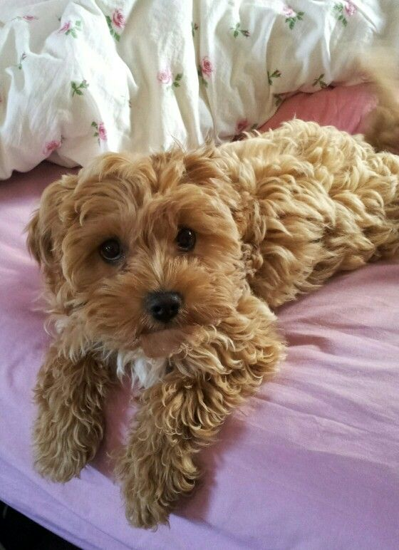 Tiger Our Beautiful Apricot Cavoodle Puppy Poodle Mix Doodle