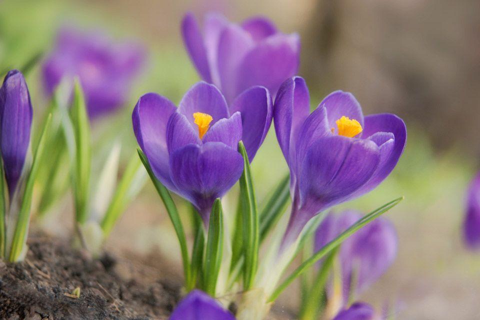 Crocus Spring Flowering Bulbs Planting Bulbs Crocus Flower