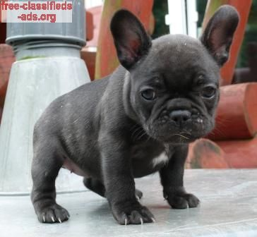 Free Classifieds Ads Org French Bulldog For Adoption French
