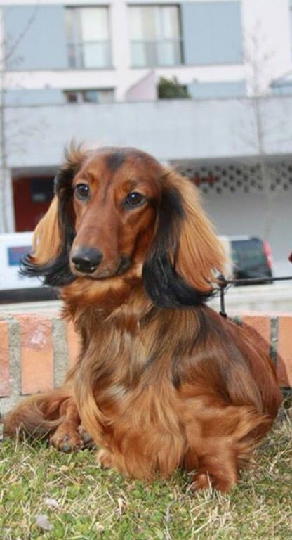Pin By Dachsie Lover On Longhair Dachshunds Cute Dogs Dogs