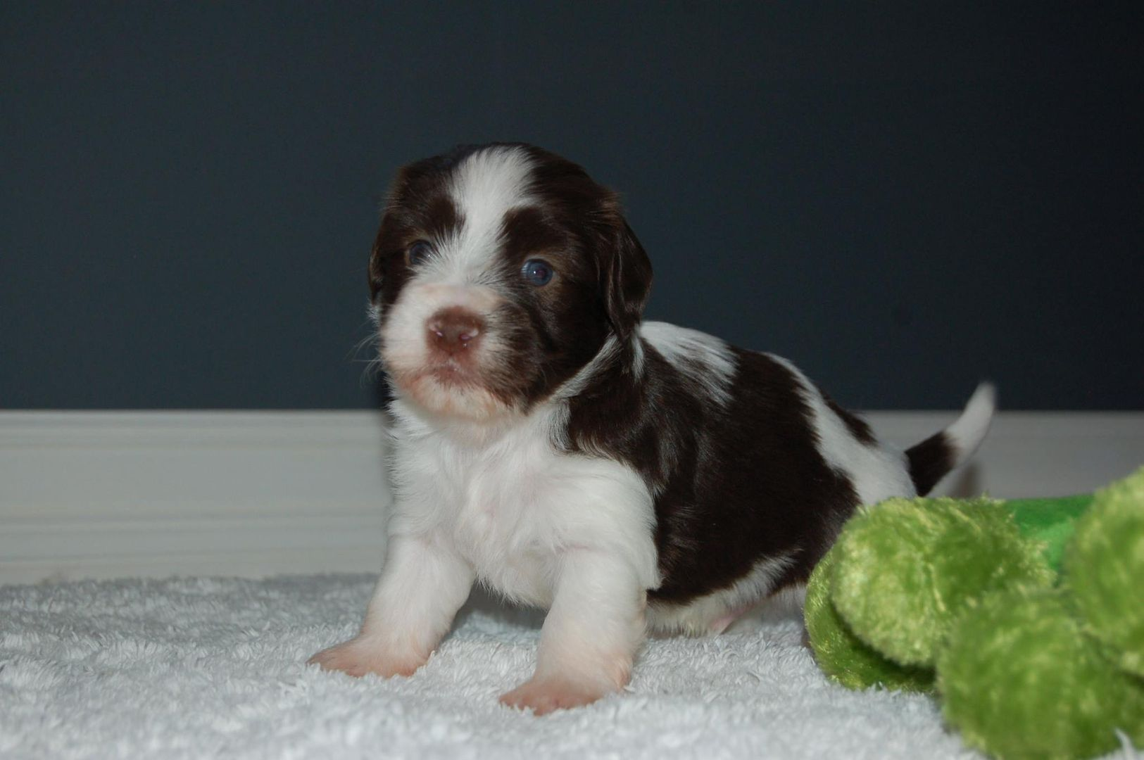 Akc Chocolate Puppies For Sale In Maine Toy Dog Maine Havanese Gray Me With Images Puppies For Sale Dog Toys Puppies