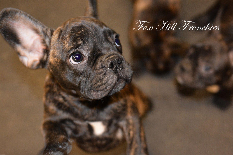 Fox Hill French Bulldog Puppies Available For Sale North Of Boston Massachusetts Bulldog Puppies French Bulldog Breeders French Bulldog Puppies