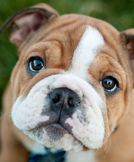 English Bulldog Susseste Haustiere Bulldogge Babyhunde