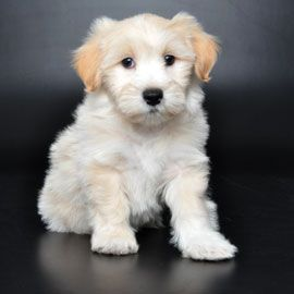 Orlando Puppies For Sale Lhasa Poo Puppies For Sale Puppies