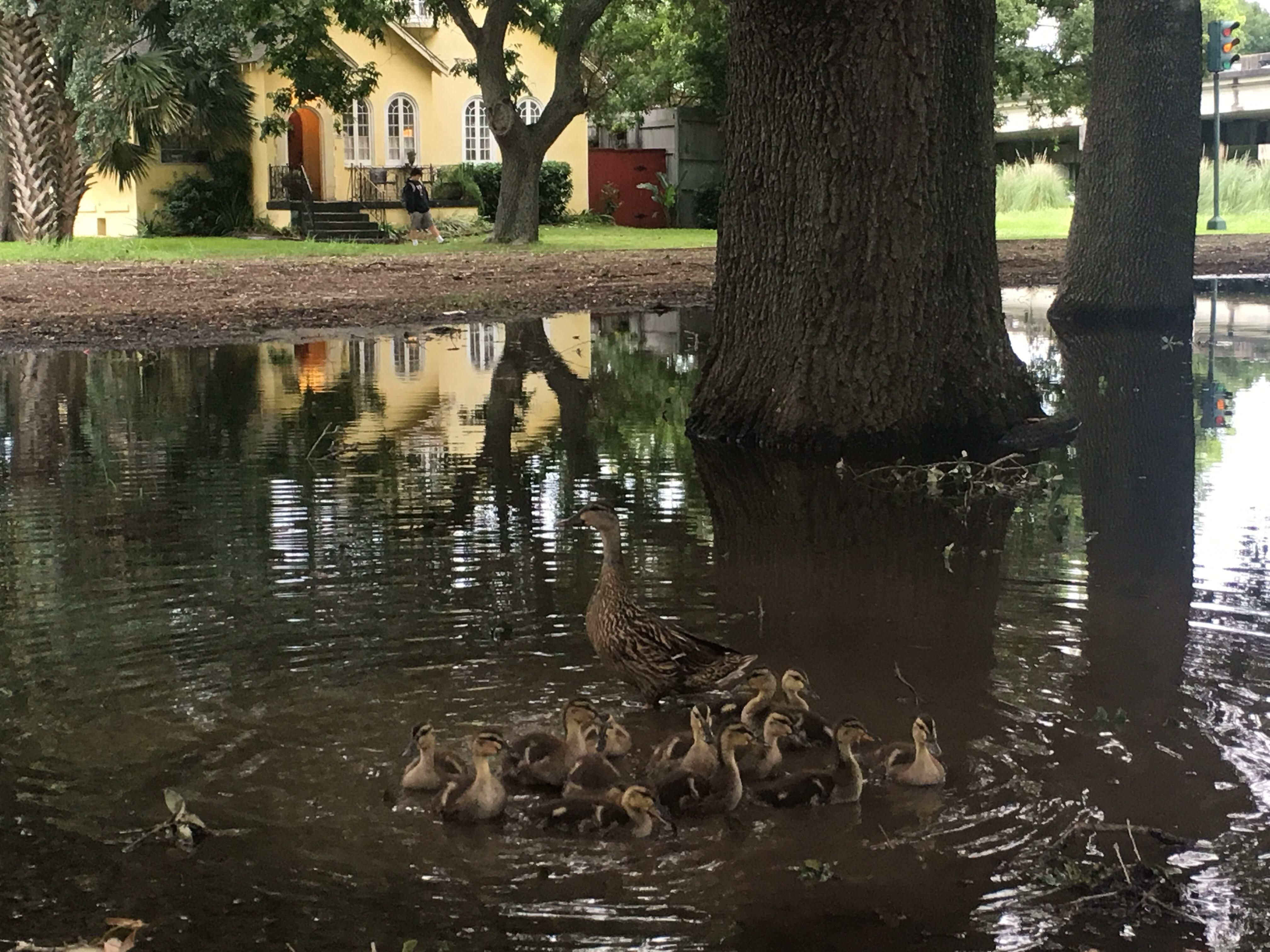 Feeding ducks that hatched on the median after Tropical Storm Cindy http://ift.tt/2ukcmH1