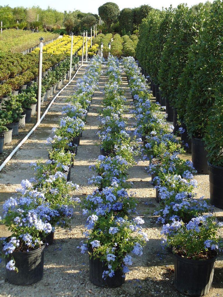 Blue plumbago plants are staples for any garden center in