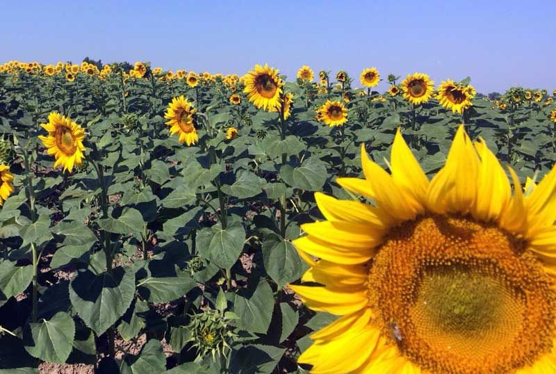 Why Is The Sunflower The National Flower Of Ukraine Sunflower Flowers Travel To Ukraine