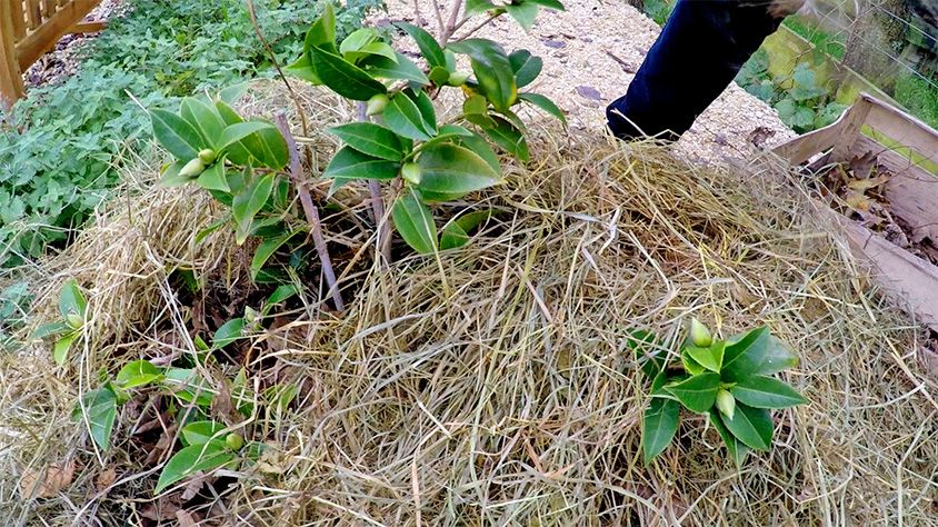 L'hivernage d'un camélia cultivé en pot ou en pleine terre