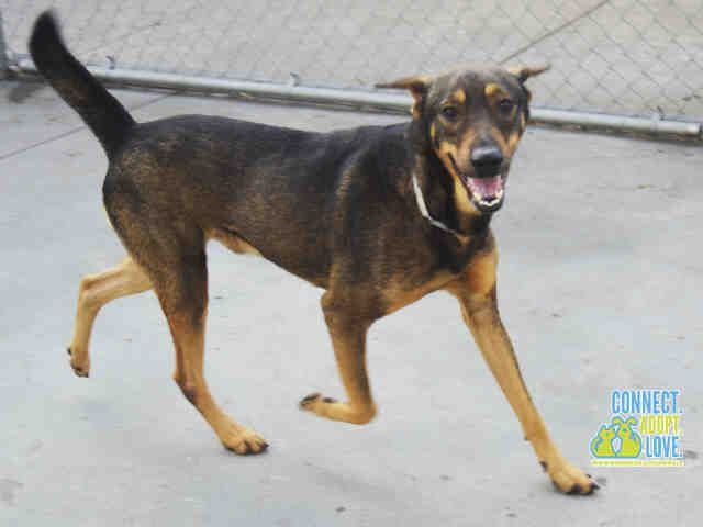 ●TO BE DESTROYED 4•30•16●JACK - ID#A1751797. I am an unaltered male, brown and black German Shepherd Dog mix. The shelter staff think I am about 2 years old. I have been at the shelter since Jan 12, 2016.