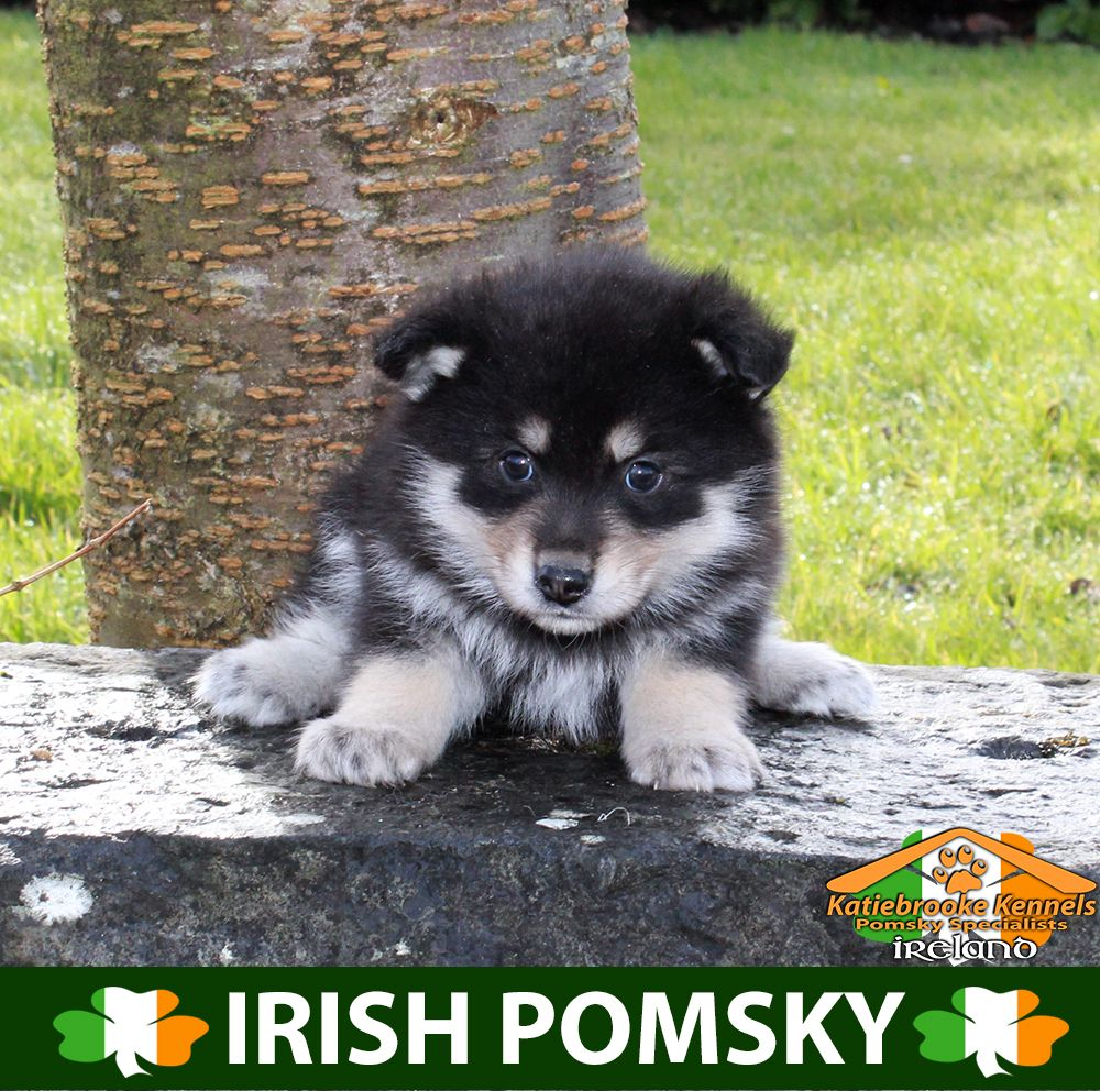 Katiebrooke Kennels Pomsky Specialists Ireland 1000 Uk 1200 Europe 1200 Usa F1 Pomsky Puppy Perry Brown Eyes X Pomsky Puppies Puppies Cute Pomeranian