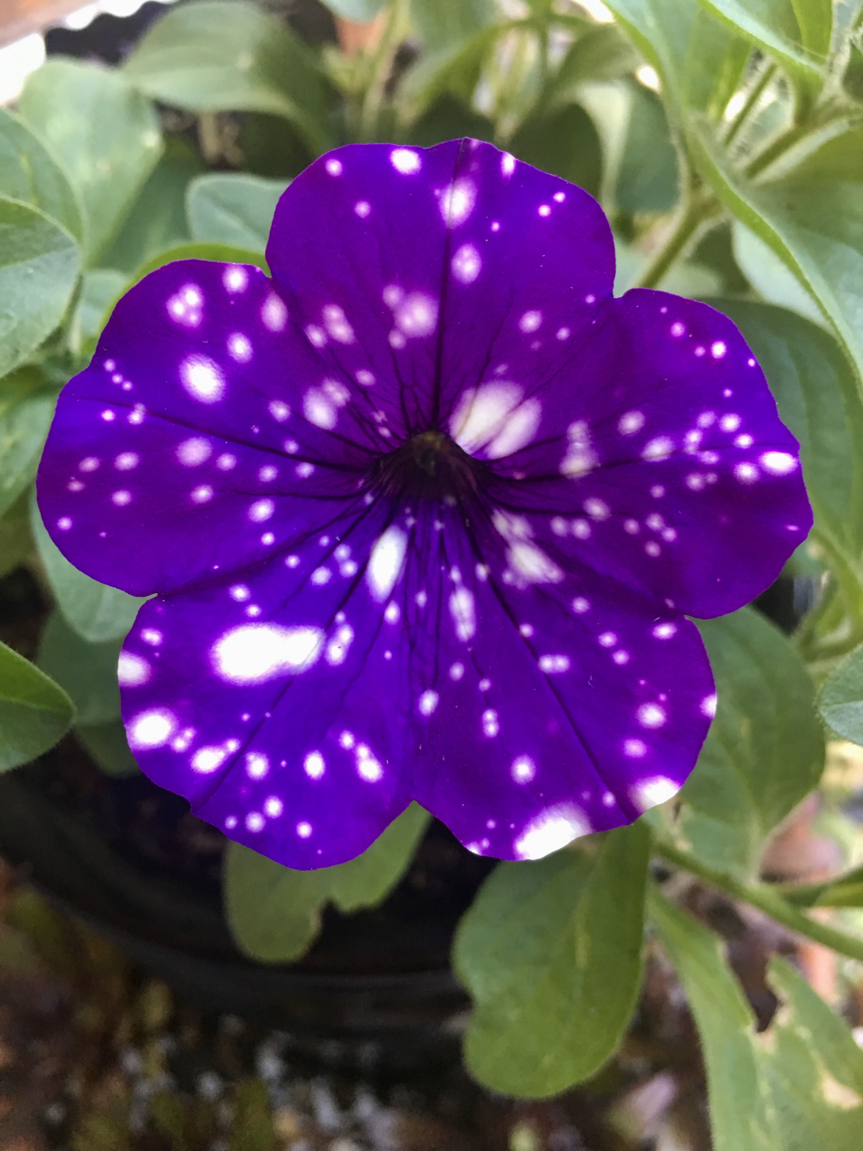 "Petunia "" Night sky"" 