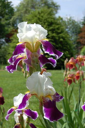 Purple And White Iris Iris Flowers Iris Flower Pictures Flower Pictures