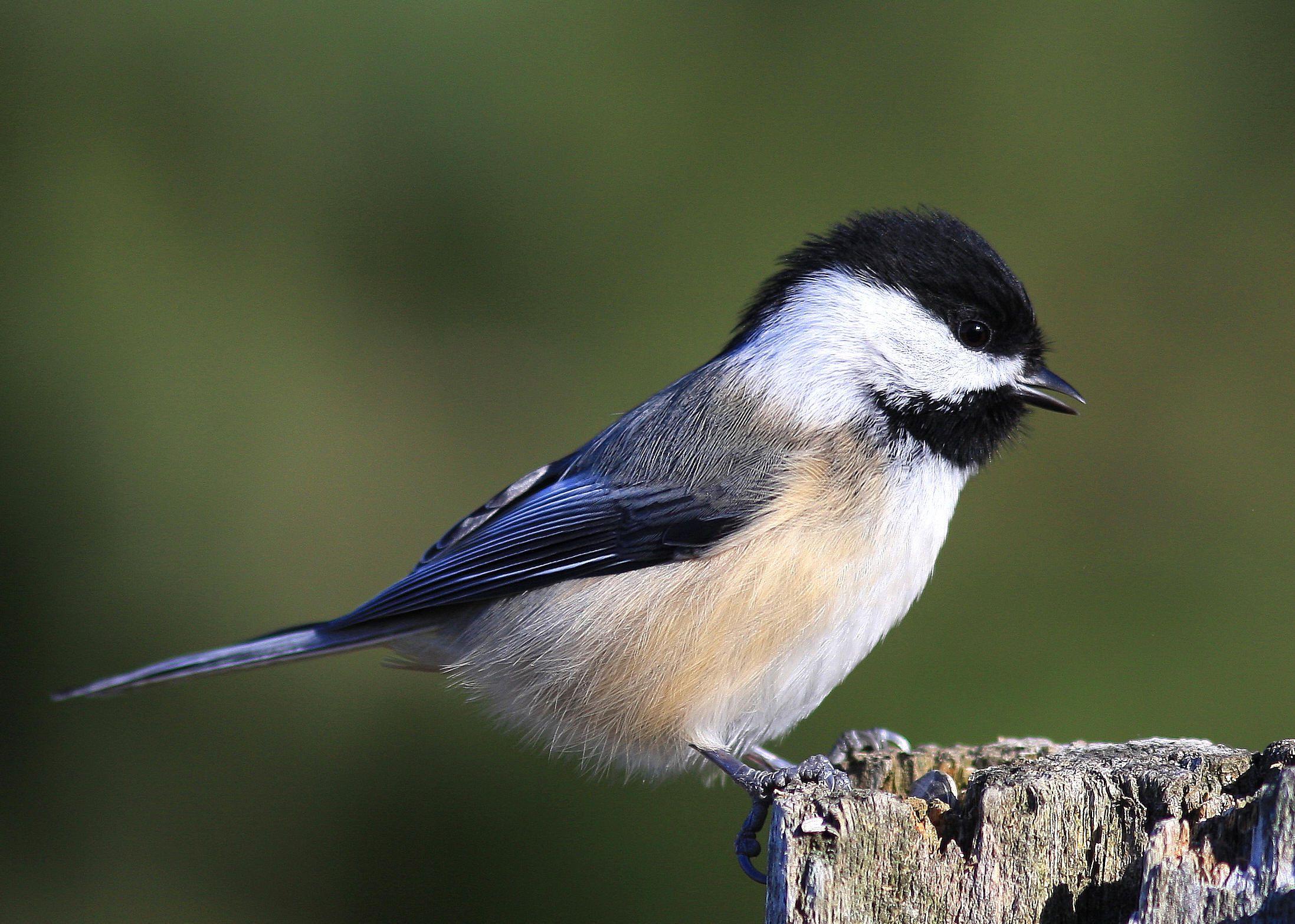 Maine State Bird Black-capped Chickadee   Maine   Black ...