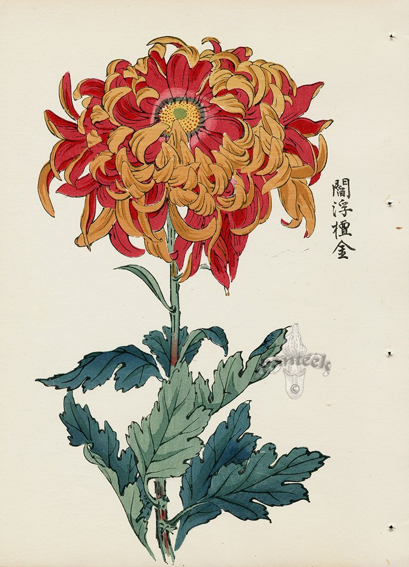 From Art Of The Japanese Chrysanthemum Japanese Woodblock Printing Japanese Chrysanthemum Botanical Drawings