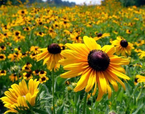 sunflowerss