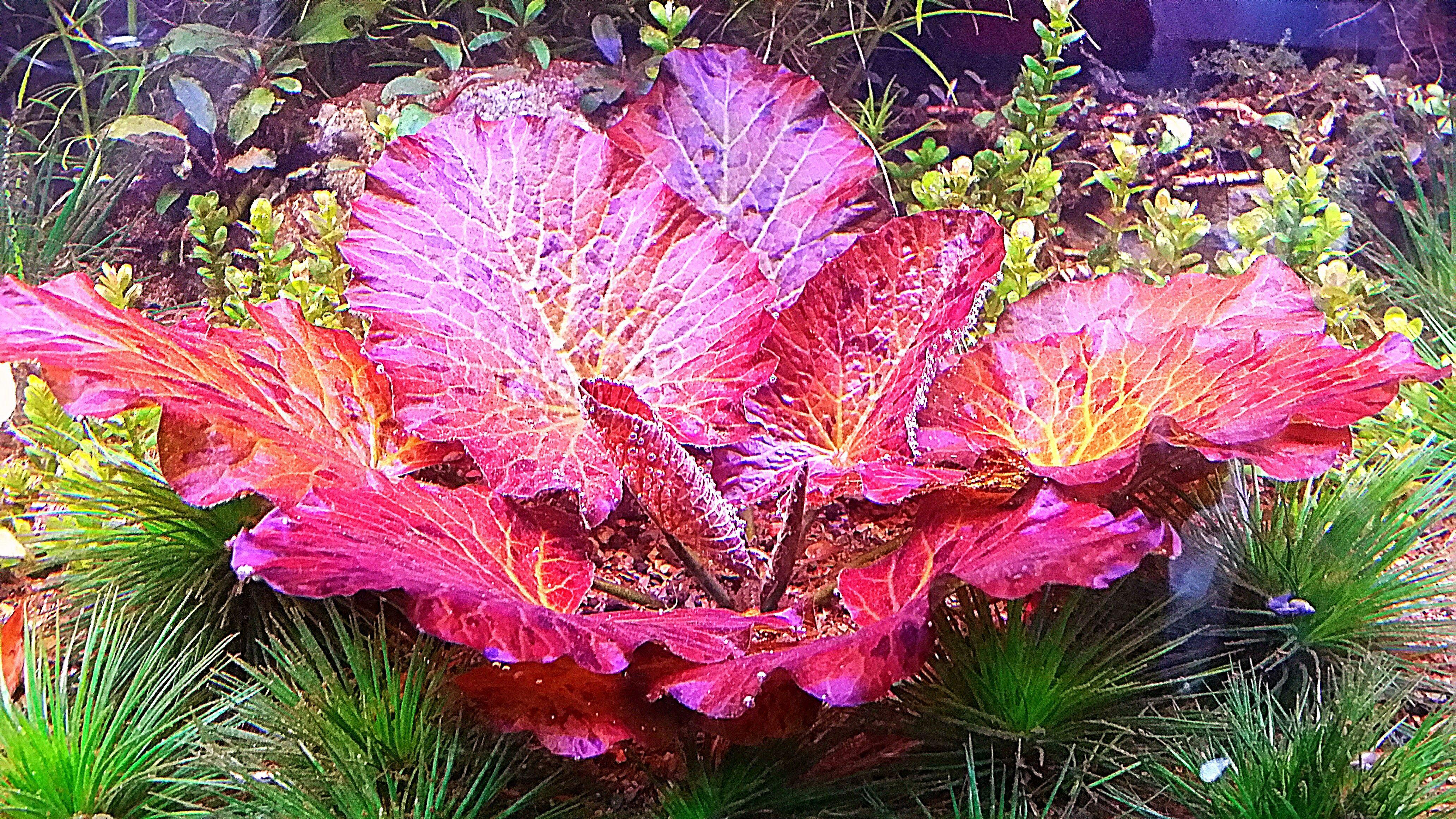 Nymphaea Red Tiger Lotus - Liquid Creations - Aquatic ...