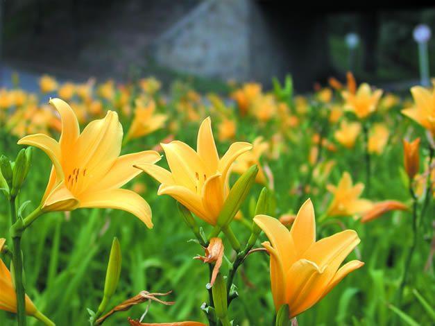 Nombres De Flores Amarillas Imagui Garden Yellow Orange Flowers