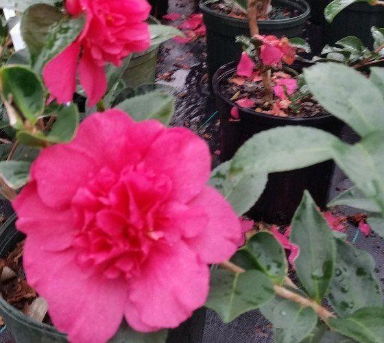 Our Linda Pink Camellia Sasanqua New Life Nursery Garden