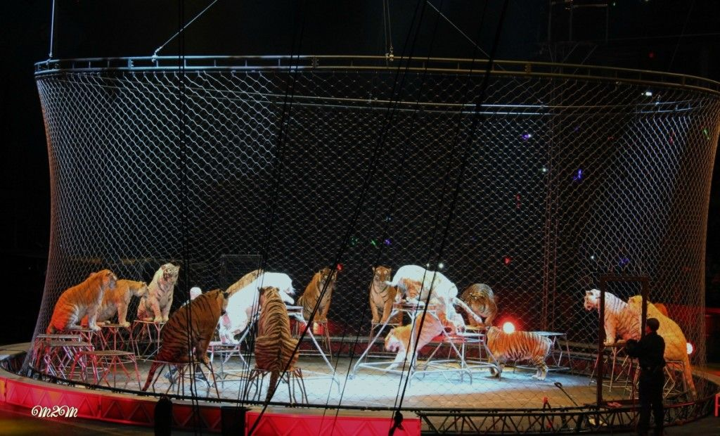 Barnum Bailey Circus Tigers Ringling Brothers Circus Ringling Brothers Barnum