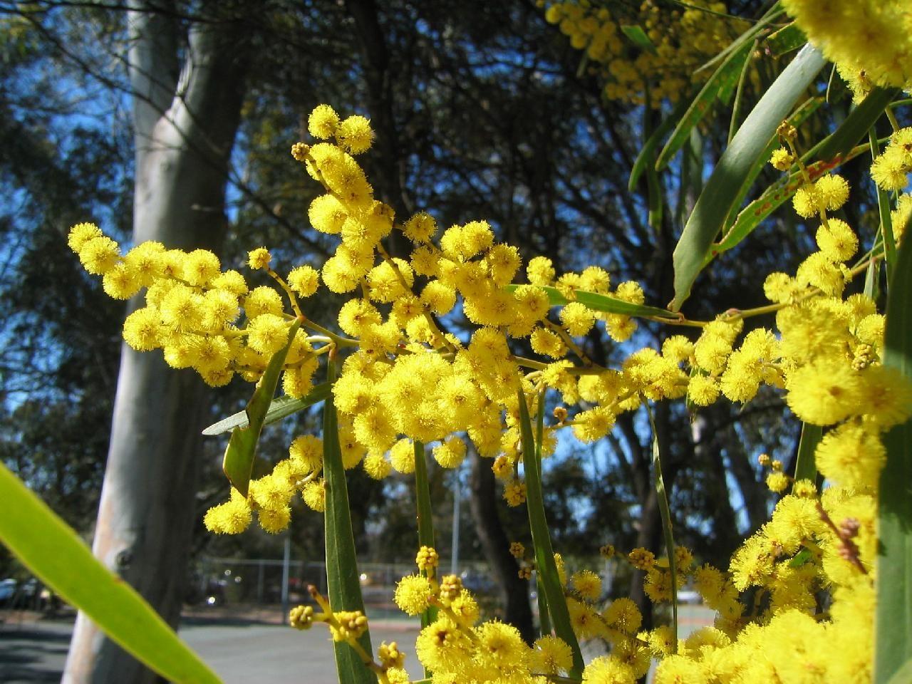 Golden Wattle Australia National Flower Flowers Flowers Different Types Of Flowers Types Of Flowers Australia Wallpaper