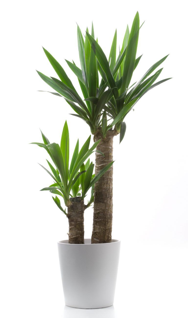 Indoor palm: types and care