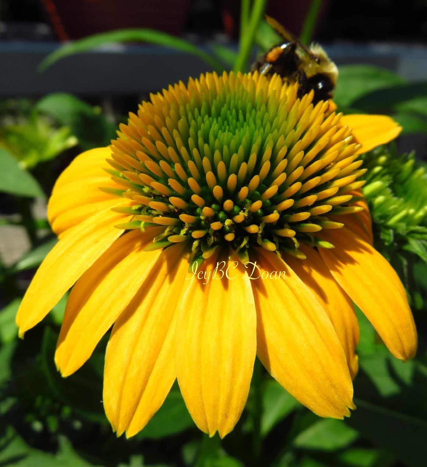 Yellow Cornflower Flowers Pinterest Flowers
