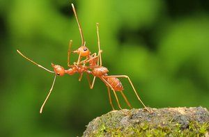 Two weaver ants otherwise known as fire ants dancing together in Bata, Indonesia.