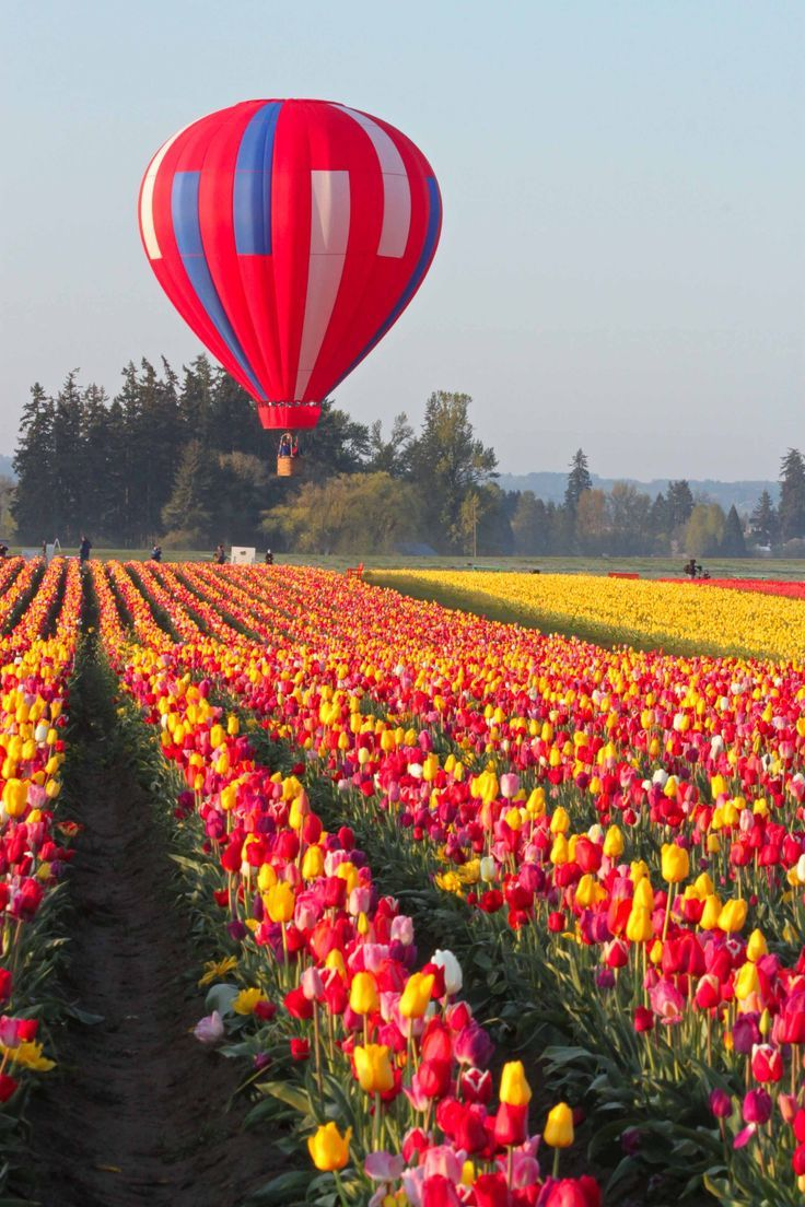 Wooden Shoe Tulip Fest Wooden Shoe Tulip Farm Beautiful Nature Tulip Fields Hot Air Ballon