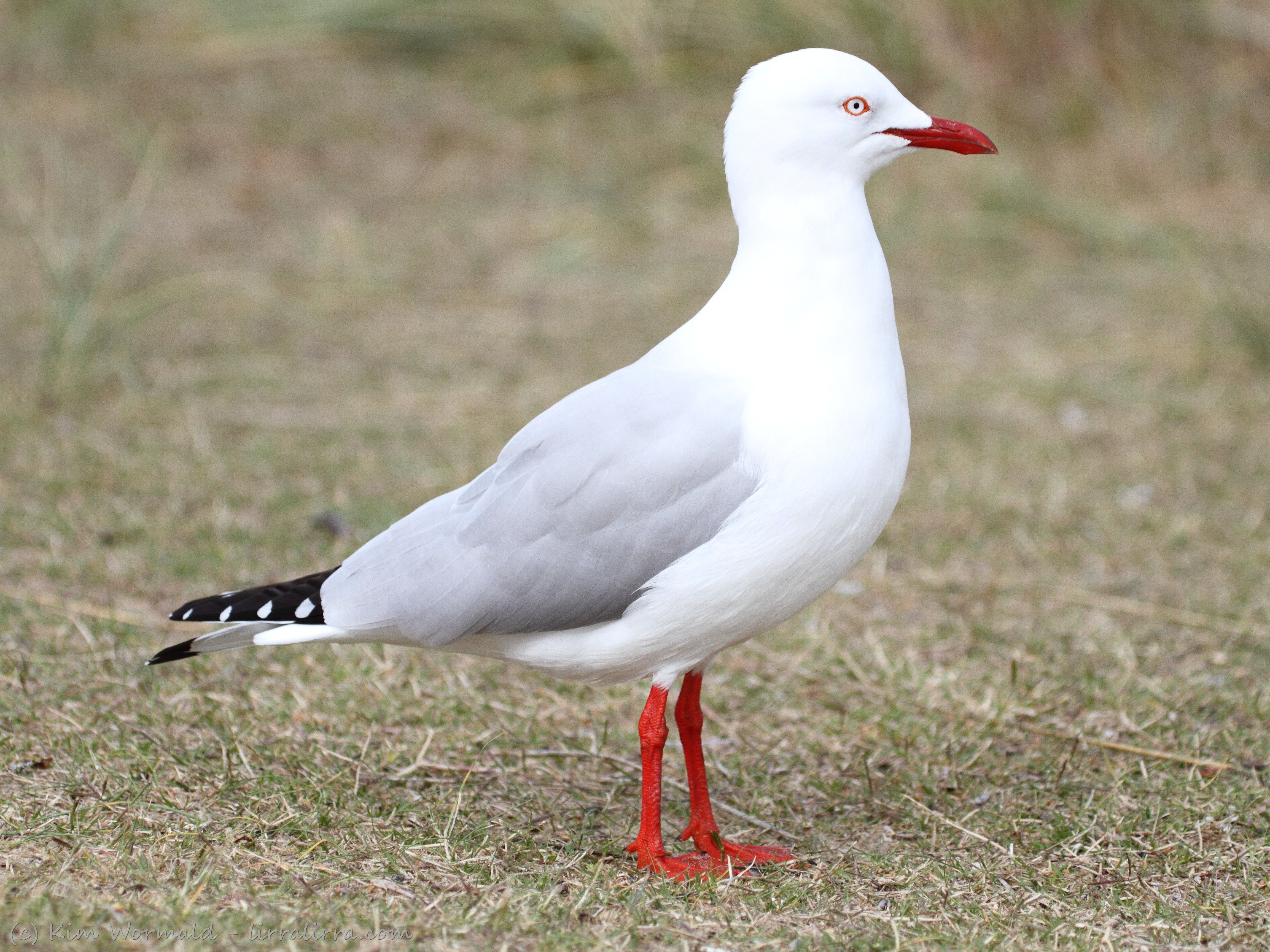 Silver Gull Gallery With Images