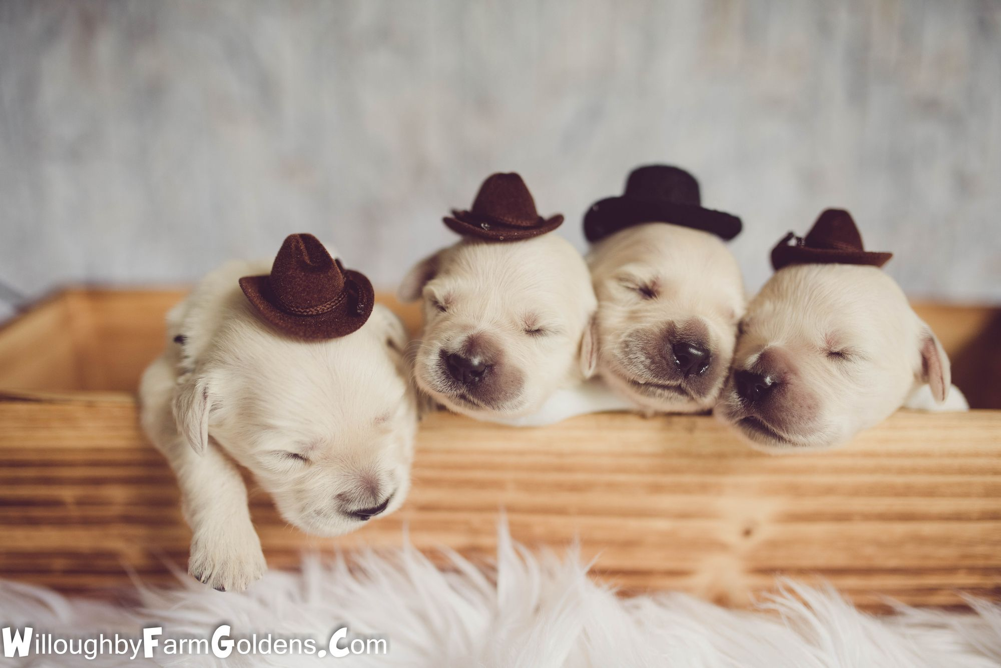Newborn Puppies In Cowboy Hats Can You Even Handle This