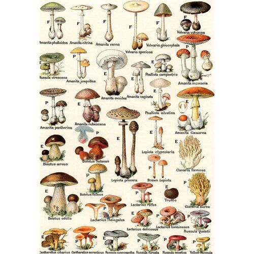Illustration Of Edible and Poisonous Mushrooms - P