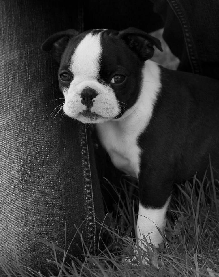 Boston Terrier Puppy Named Juno From Pressig Germany Photos Boston Terrier Puppy Boston Terrier Boston Terrier Dog
