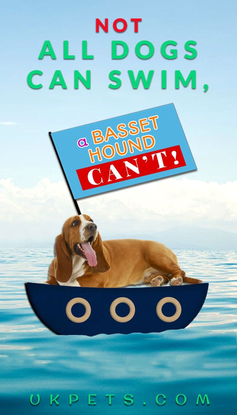Can All Dogs Swim Not Exactly A Basset Hound Can T Dogsandpuppies Ukpets Dogfacts Animalfacts Bassethound Dogsstuff D With Images Dog Swimming Dog Facts Pet Blog