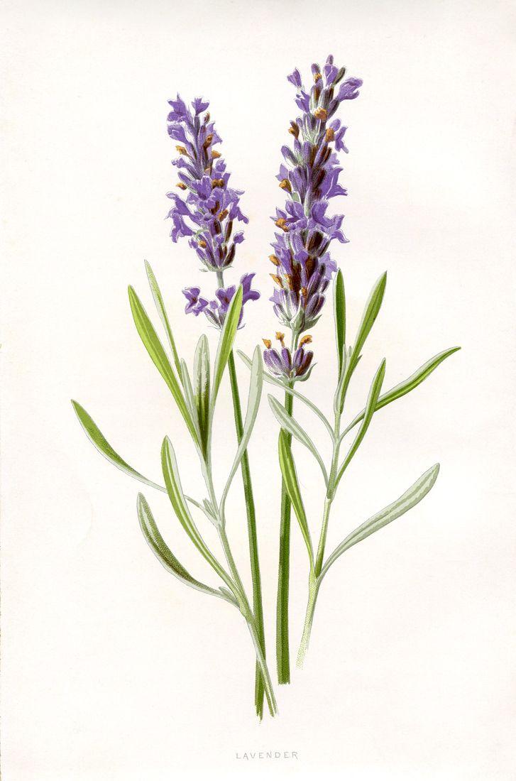 7 Lavender Flower Clip Art Vintage Flowers Flower Images Botanical Prints