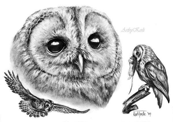 Tawny Owl (Strix aluco) by Kerli T. on ARTwanted