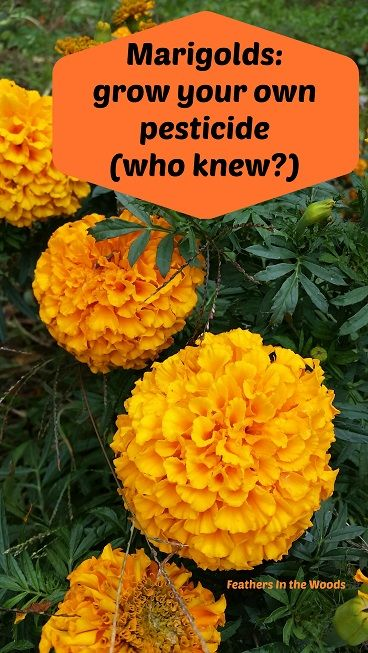 Marigolds: grow your own pest spray (Try this!)
